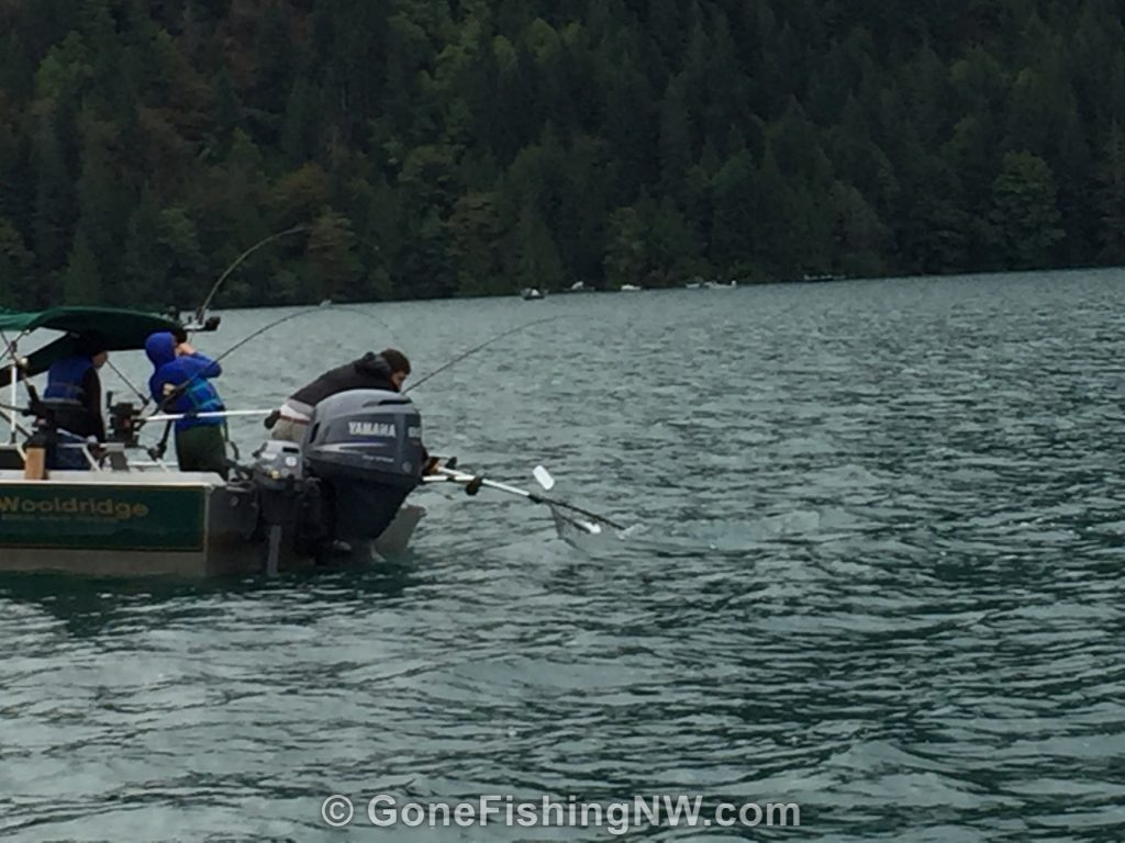 Expert sockeye salmon netting job at Baker Lake